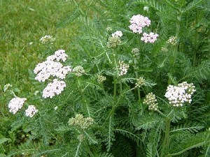 White Yarrow Plant